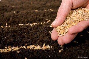 Господь - зерно, способное произрастать на поле. Он Сам и Сеятель.