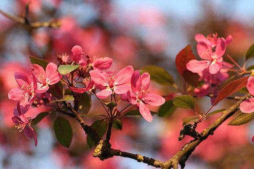 пурпурная яблоня