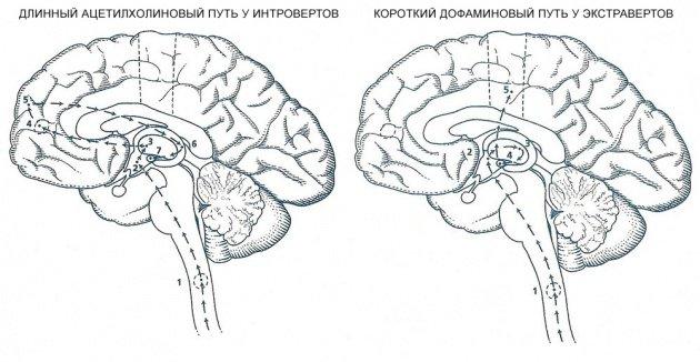 пути обработки информации в мозге